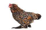 The Barbu d'Uccle or Belgian d'Uccle hen, standing against white