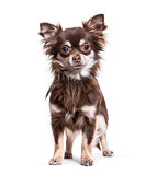 Chihuahua dog, 1 year old, standing against white background