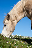 irish pony eating
