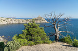 Two relict pine, live and dead, over the sea. Crimea, September.