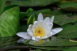 european white water lilly in Danube Delta, Romania