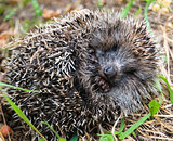 Funny hedgehog sleeps curled up in a ball.