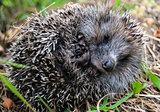 Grey hedgehog curled into a ball.