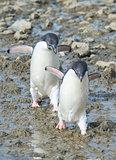 Adelie Penguins walk along beach