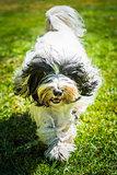 Tibetan Terrier dog is running