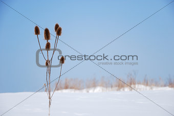 Seed capsules in a wintry landscape