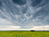 Dark and ominous mammatus storm clouds over a canola field north