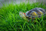 Red-eared turtle resting on the grass basking in the sun.