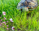 The red-eared turtle rests on land.Trachemys scripta.