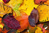 Autumn fallen multicolor leaves