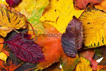 Autumn fallen multicolor leaves