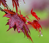Leaves of red Japanese-maple (Acer japonicum) with water drops a