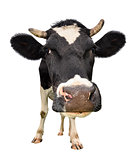 Funny cute cow isolated on white background.