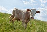 light bull in pasture in rural setting