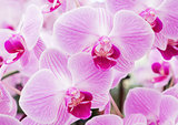 Blooming of the fresh phalaenopsis orchid.