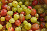 Juicy Summer Gooseberries Fresh Picked