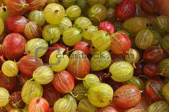 Juicy Summer Gooseberries Fresh Picked