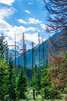 vertical landscape - forest with dry coniferous trees and mounta