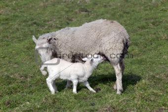 Adorable Spring lamb