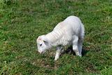 Adorable Spring lamb