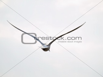 Free seagull