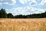 Wheat Field