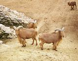 Wild mountain rams