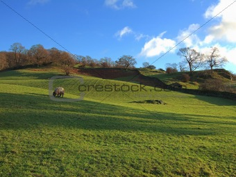 Grazing sheep near Ambleside