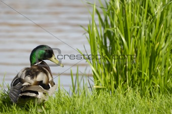 Duck by the lake
