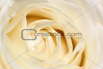 Cream rose.