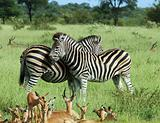Two Zebras and Impala