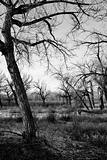 dead tree landscape b&w