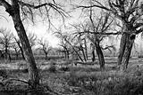 bare trees in black and white