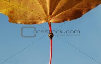 autumn ladybug