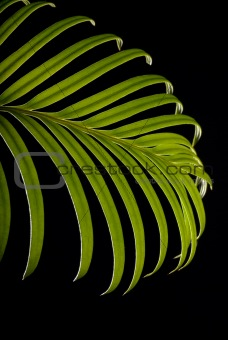 Green cycas leaf
