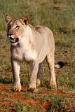 female lion