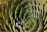 Spiral aloe