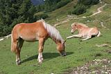 horses on the dolomite meadows