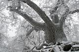old oak in icing