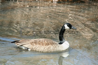 Canadian goose swimming ina stream