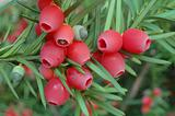 Yew-tree berries