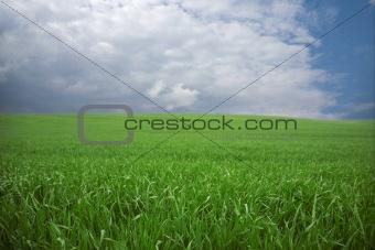 Green wheat, blue skies