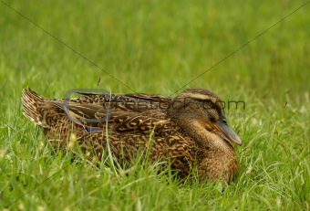 clos up shot of wild female duck