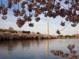 Cherry Blossoms framing Washington Monument