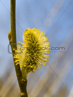 Yellow pussywillow