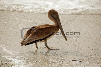 Old pelican
