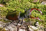 Stag beetle