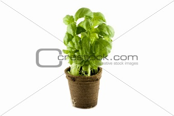 Fresh basil plant isolated on white background