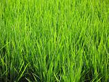 Rice Plants