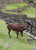 Alpacas at Machu Picchu